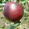Arkansas Black Fruit